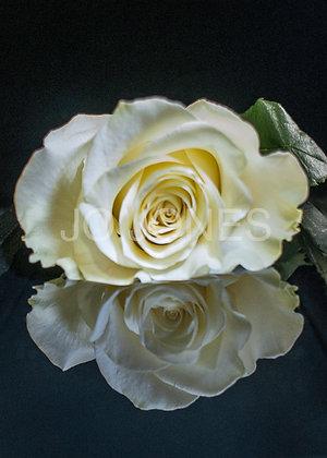 White Rose Reflection