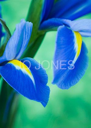 Blue Ribbon Iris