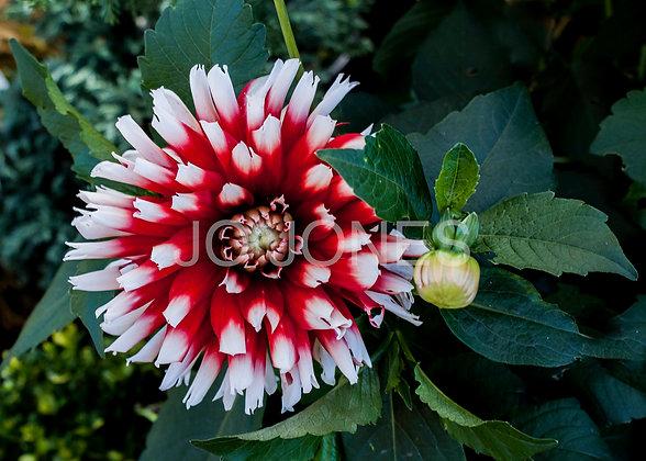 Peppermint Dahlia