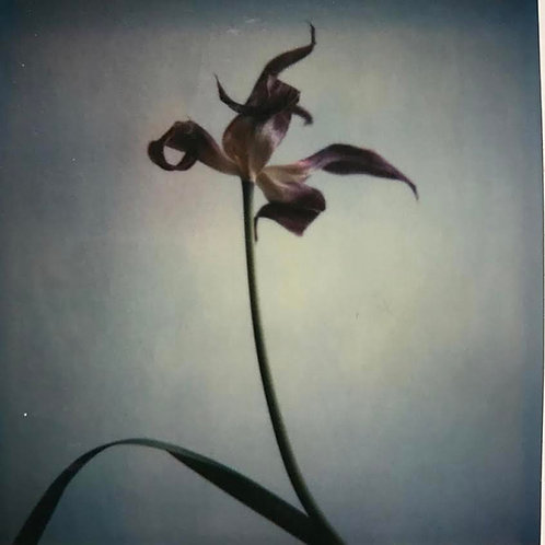 Andrea Haenni -  Flower Polaroid SX-70 Scan, Print auf Papier 30x30cm