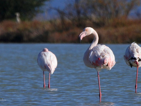 Live the experience to see Flamingos at Corfu