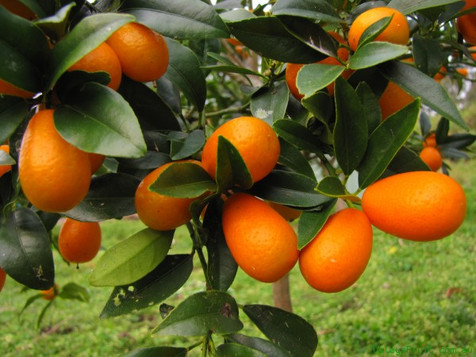 Corfu kumquat. The trademark of Corfu