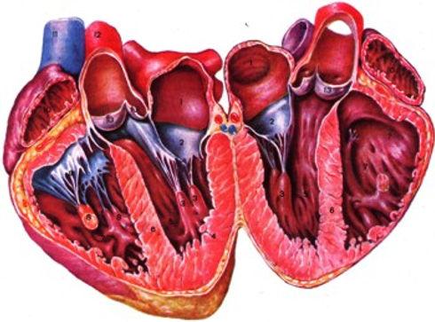 Анатомия сердца.