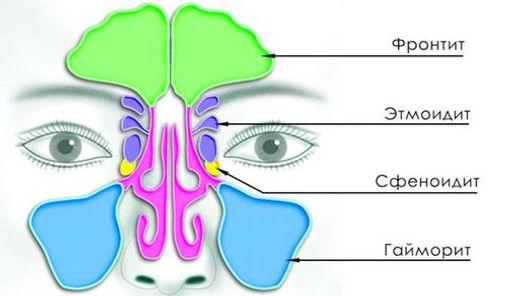 Строение носа и придаточных пазух.