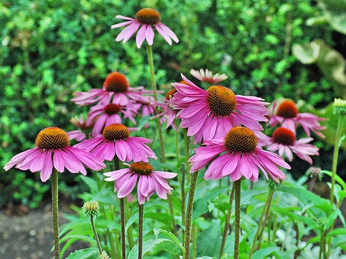 Purple Echinacea Seeds