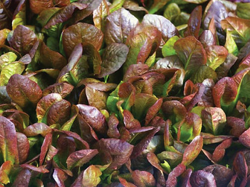 Cimarron Lettuce Seeds