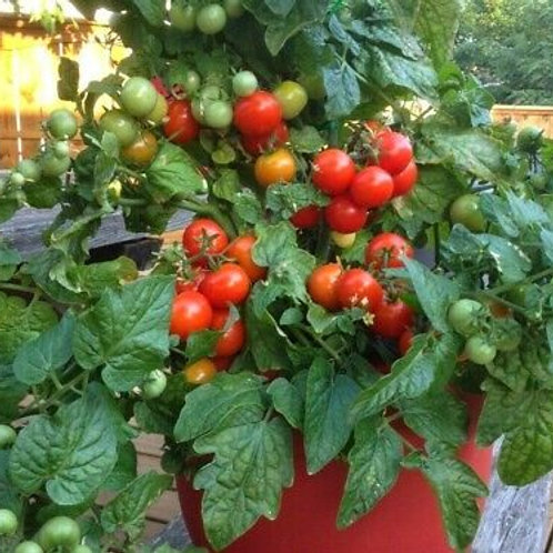 Tiny Tim Tomato Seeds