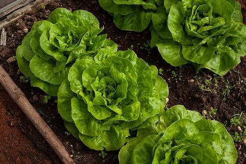 Bibb Lettuce Seeds