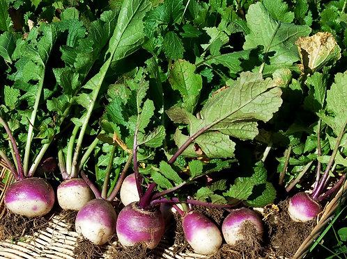 Purple Top Globe Turnip Seeds