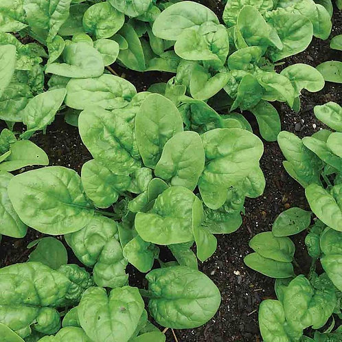 Bloomsdale Long Standing Spinach Seeds