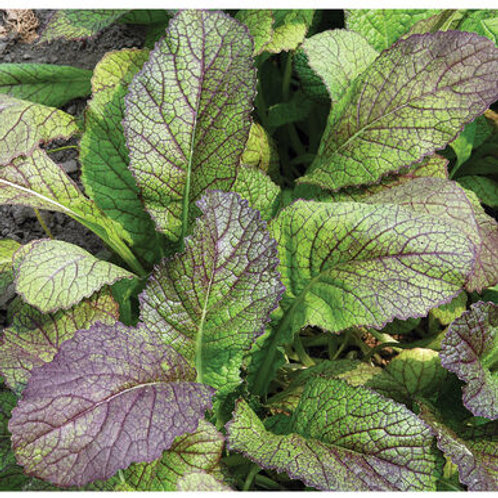 Red Giant Mustard Green Seeds
