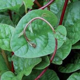 Malabar Red Stem Spinach