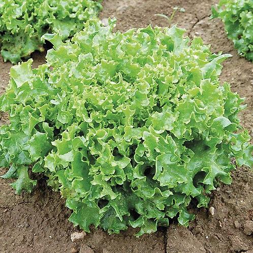 Tango Leaf Lettuce Seeds