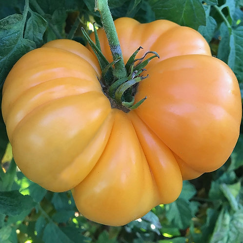 Amana Tomato Seeds