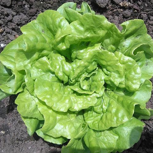 Tom Thumb Butterhead Lettuce Seeds