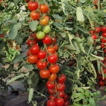 Moneymaker Tomato Seeds