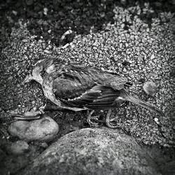 #badajoz #badajozmola #badajozx #sanroque #calor #secaenlospajaritos #gorrión #gorrion #pájaro #paja