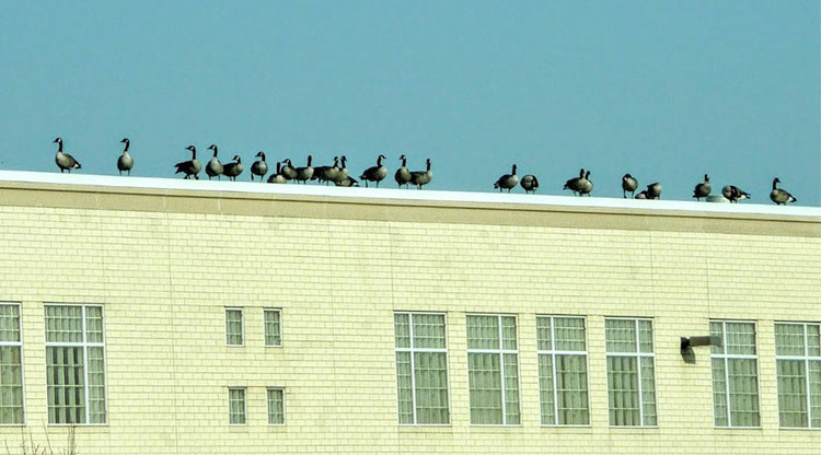 Geese on roof