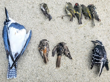 The Spreading Chaos of Bird Window Collisions