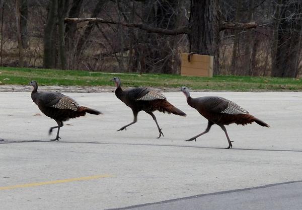 female-turkeys-parking-lot.png