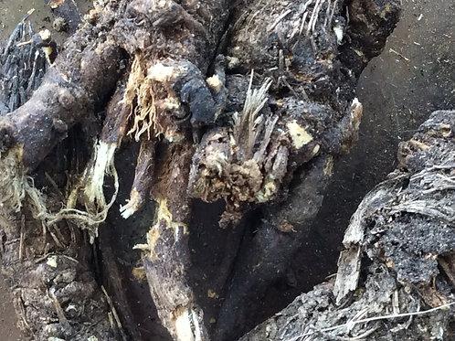 Osha Root