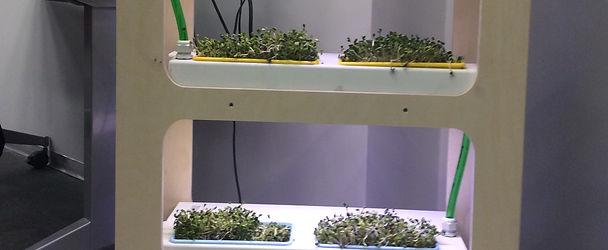 Прототип микрозелень