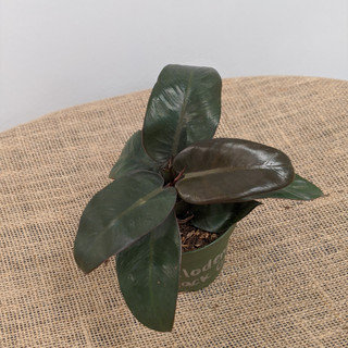 Philidendron Black Cardinal- $12.25- 4in