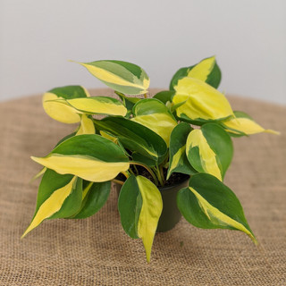 Brasil Philodendron- $9.75- 4in
