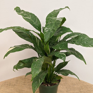 Peace Lily Domino- $25.00- 6in