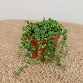 String of  Pearls-$19.95- 4in