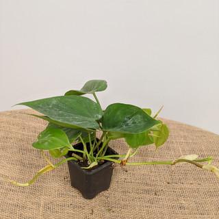 """3"""" Philodendroncordatum - $4.95"""