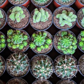 "4"" Assorted Cacti - $9.75"