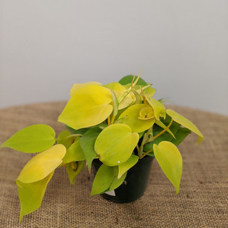 Gold Philodendron- $9.75- 4in