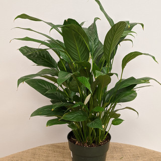 Peace Lily- $18.00- 6in