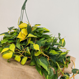 Hanging Basket Philodendron- $28.75- 10in