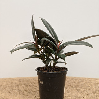 Rubber Plant-$12.25- 4in