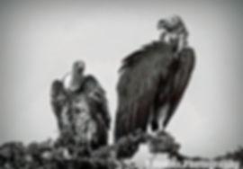 vultures1-Editbw-web.jpg