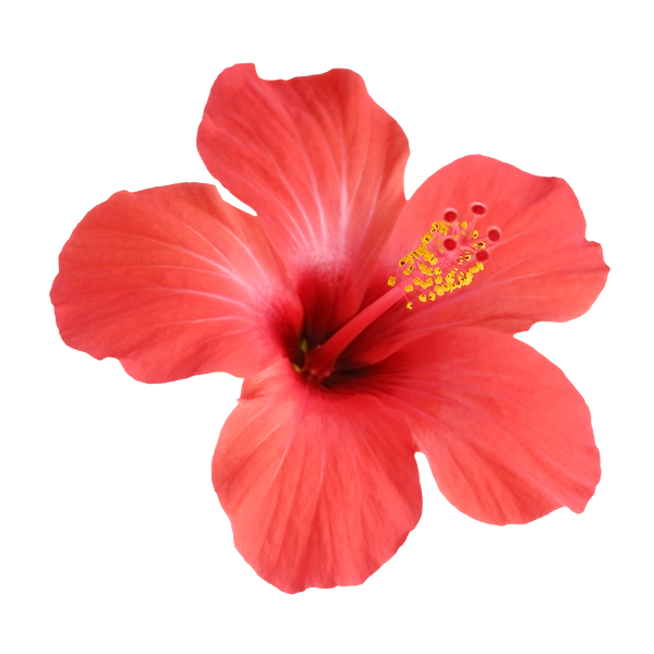 red-hibiscus-flower-isolated_USVI_Flower