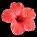 red-hibiscus-flower-isolated_USVI_Flower