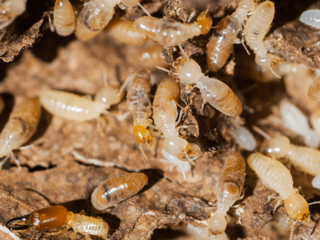 Everything You Need To Know About Our Worst Enemy: Termites