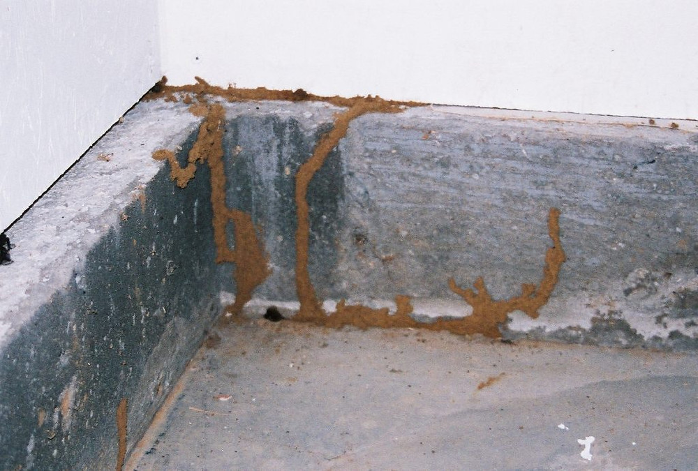 Mud tubes on wall