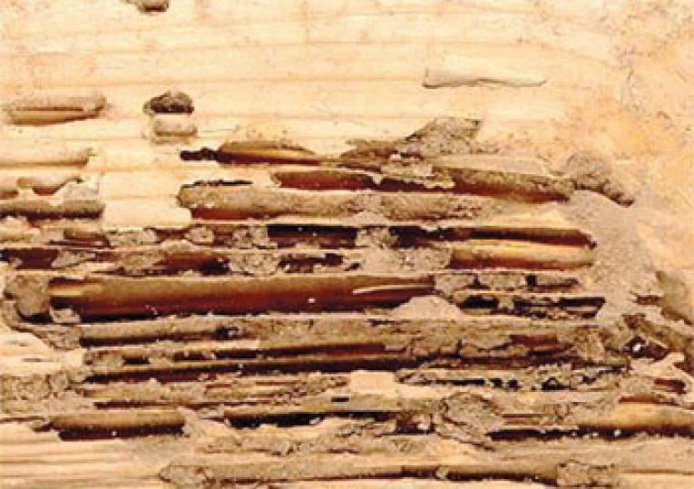 Termite galleries in wood