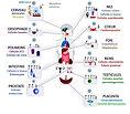 Organes cibles du Coronavirus.jpg