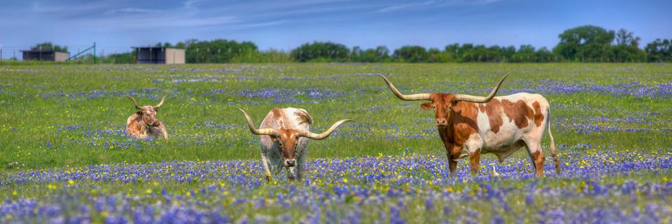 Longhorns in Bluebonnets
