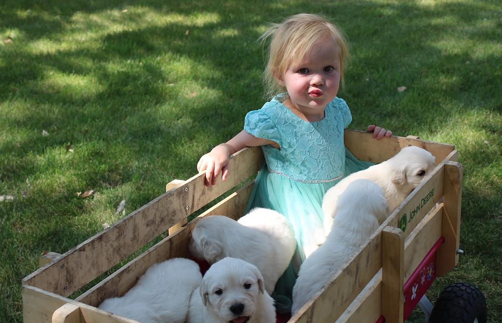 Cute English Cream Golden Retriever Puppies and girl in wagon