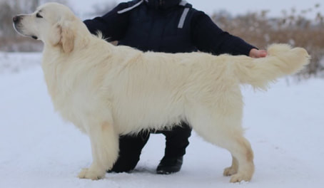 Sire of our English Cream Golden Retriever Puppies, Hit, during his show dog career in Russia.