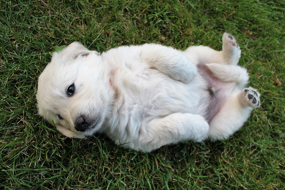 English Cream Golden Retriever Puppy wants to snuggle