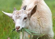 little goat eating grass