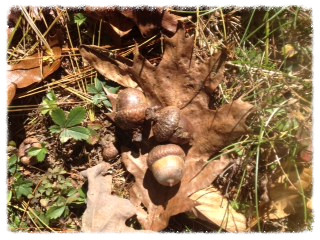 acorns _edited.jpeg