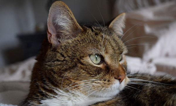 Cat echo, veterinary cardiology, atlanta, georgia, pet echocardiogram
